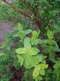 Flora van de Oekraïne Groene bladeren van een struik na een regen De regendalingen worden gevestigd op de bladeren zoals parels,  Royalty-vrije Stock Foto's