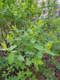 Flora van de Oekraïne De struik na de regen De regendalingen worden gevestigd op de bladeren, verfraaien en voeden de installatie Royalty-vrije Stock Afbeeldingen