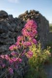 Flora van de vulkaan van Ondersteletna, bloesem van het roze Valeriaan van Centranthus ruber of Rood valeriaan, populaire tuinins stock foto