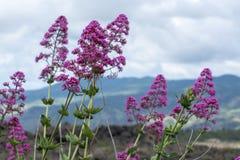 Flora van de vulkaan van Ondersteletna, bloesem van het roze Valeriaan van Centranthus ruber of Rood valeriaan, populaire tuinins royalty-vrije stock fotografie