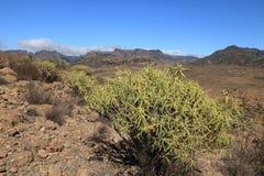 Flora van Gran Canaria, gele bloemen van Adenocarpus-foliolosus royalty-vrije stock foto