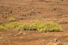 Flora van Gran Canaria, gele bloemen van Adenocarpus-foliolosus royalty-vrije stock afbeelding