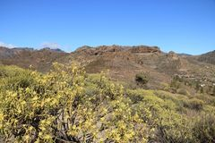 Flora van Gran Canaria, gele bloemen van Adenocarpus-foliolosus stock fotografie