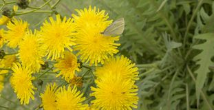 Flora van Gran Canaria - Sonchus stock foto's