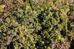 Flora van IJsland royalty-vrije stock afbeeldingen