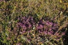 Flora van IJsland stock foto