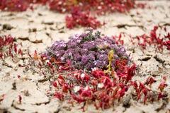 Flora van Lanzarote, grond die succulente installaties behandelen die op bl groeien stock foto's