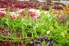 Flora van Lanzarote, grond die succulente installaties behandelen die op bl groeien royalty-vrije stock fotografie