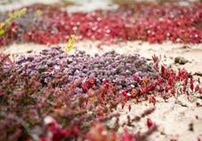 Flora van Lanzarote, grond die succulente installaties behandelen die op bl groeien royalty-vrije stock afbeelding