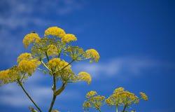 Flora van linkii van Gran Canaria - Ferula- royalty-vrije stock afbeelding