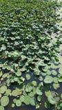 Lotus flowers in river. Flora of Volga stock image