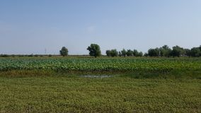 Lotus flowers in river. Flora of Volga royalty free stock images