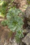 Flora von Gran Canaria - Aeonium Stockbild