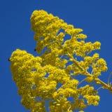 Flora von Gran Canaria - Aeonium arboreum Stockfotografie