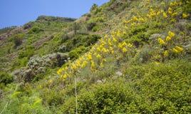 Flora von Gran Canaria - Aeonium arboreum Stockbilder