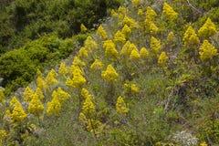 Flora von Gran Canaria - Aeonium arboreum Lizenzfreie Stockfotografie