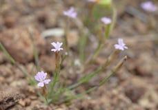 Flora von Gran Canaria - kleine rosa Blumen von Petrorhagia-nanteu Lizenzfreies Stockfoto