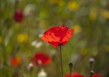 Flora von Gran Canaria - rote Mohnblume Stockfotografie