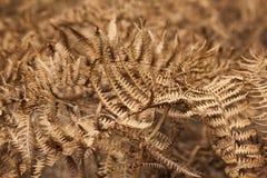 Flora von Gran Canaria - trockenes Pteridium aquilinum Lizenzfreies Stockbild