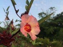 Flora y resultado de Roselle Imagen de archivo