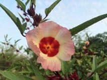 Flora y resultado de Roselle Imagenes de archivo