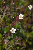 Floración ártica Imágenes de archivo libres de regalías