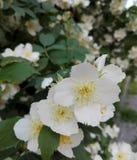 floración Foto de archivo