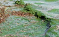 Floración algácea Imagenes de archivo