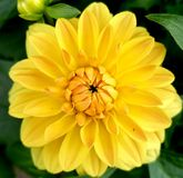 Floración amarilla Fotografía de archivo libre de regalías