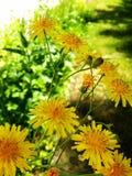 Floración amarilla Fotos de archivo
