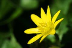 Floración amarilla Imagenes de archivo