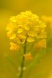 Floración amarilla de la violación foto de archivo