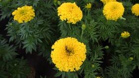 Floración amarilla de las flores del Calendula Foto de archivo libre de regalías