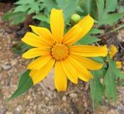 Floración amarilla de las flores en el jardín Fotografía de archivo