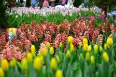 Floración amarilla de los tulipanes del vuelo Imagen de archivo libre de regalías