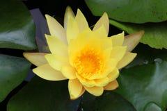 Floración amarilla del flor Imágenes de archivo libres de regalías