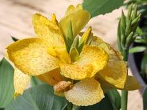 Floración amarilla del lirio de Cana Imagen de archivo libre de regalías