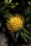 Floración amarilla del protea en un árbol Imagen de archivo libre de regalías