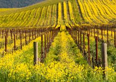 Floración amarilla en Napa, California de la mostaza Foto de archivo