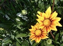 Floración amarilla hermosa de las margaritas del girasol Fotografía de archivo libre de regalías