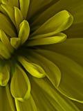 Floración amarilla suave de la flor Fotografía de archivo
