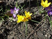 Floración amarilla y púrpura de la flor del azafrán de la primavera en jardín imagen de archivo libre de regalías