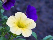 Floración amarilla y púrpura de las flores de la petunia Imagen de archivo