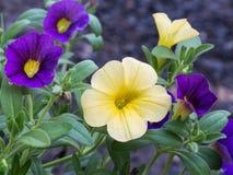 Floración amarilla y púrpura de las flores de Pitunia Fotos de archivo libres de regalías
