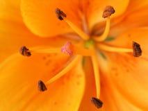 Floración anaranjada Fotografía de archivo