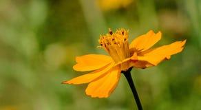 Floración anaranjada preciosa en verano foto de archivo