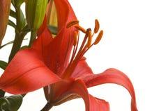 Floración asiática hermosa del lirio Fotos de archivo libres de regalías