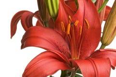 Floración asiática hermosa del lirio Foto de archivo libre de regalías