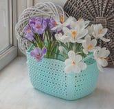 Floración azafranes blancas y rayadas en la ventana imágenes de archivo libres de regalías