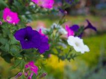 Floración azul marino de las flores de la petunia Fotografía de archivo